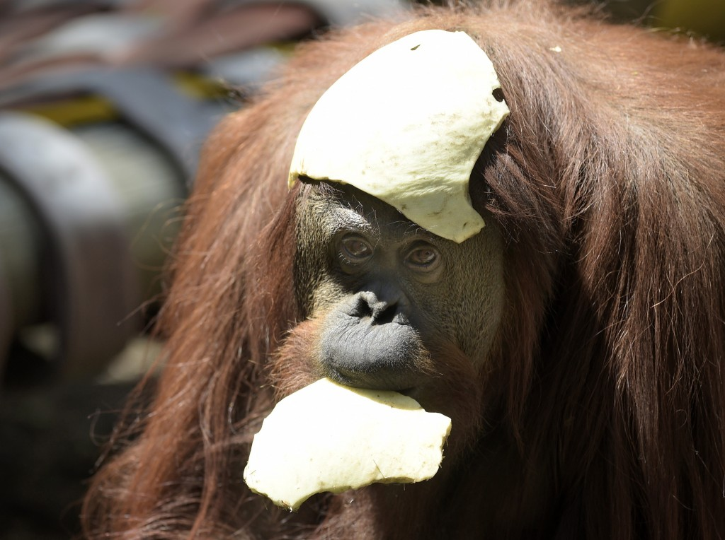 "Sandra, a 29-year-old orangutan, is pictured at Buenos Aires' zoo, on December 22, 2014. Sandra got cleared to leave a Buenos Aires zoo she has called home for 20 years, after a court ruled she was entitled to more desirable living conditions. Argentina's Association of Professional Lawyers for Animal Rights, AFADA, filed a ""habeas corpus"" writ -- a form of legal redress against unlawful imprisonment -- arguing she was ""suffering an unwarranted confinement."" The AFADA is in the process of securing Sandra's release to transfer her to a sanctuary where she is expected to live a more comfortable and happy life, lawyers said. Photo by Juan Mabromata/AFP/Getty Images"