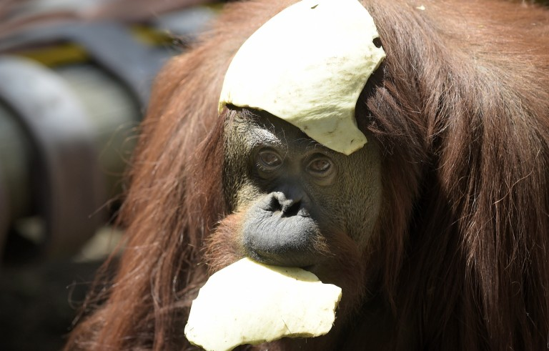 """Sandra, a 29-year-old orangutan, is pictured at Buenos Aires' zoo, on December 22, 2014. Sandra got cleared to leave a Buenos Aires zoo she has called home for 20 years, after a court ruled she was entitled to more desirable living conditions. Argentina's Association of Professional Lawyers for Animal Rights, AFADA, filed a """"habeas corpus"""" writ -- a form of legal redress against unlawful imprisonment -- arguing she was """"suffering an unwarranted confinement."""" The AFADA is in the process of securing Sandra's release to transfer her to a sanctuary where she is expected to live a more comfortable and happy life, lawyers said. Photo by Juan Mabromata/AFP/Getty Images"""