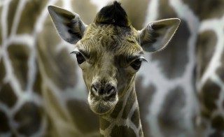 A picture taken on April 20, 2014 shows five-day-old Rothschild giraffe Jabulani at the Zoo-Aquarium in Madrid. (Credit: Dani Pozo/AFP/Getty Images)