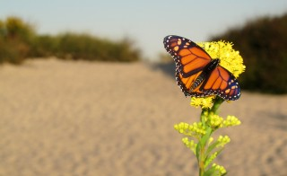 Monarch Butterfly, Assateague Island