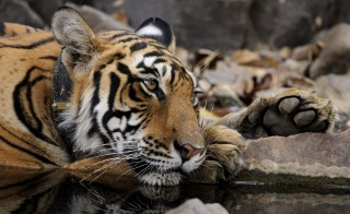 A Bengal tiger fitted with a radio collar resting at a waterhole in Ranthambhore National Park on April 16, 2010 in Rajasthan, India. Photo by Aditya Singh/Barcroft India / Getty Images