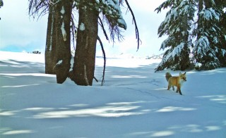 A motion-sensitive camera at Yosemite National Park in California captured the rare Sierra Nevada red fox this winter. Photo from the National Park Service.