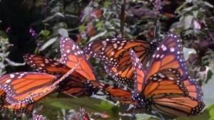 MonarchButterflies