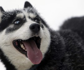 A dog rests during the Sedivackuv Long dog sled race in Destne v Orlickych horach January 23, 2015. Each year, racers from all over Europe arrive at the village of Destne in the Orlicke mountains in Czech Republic to take part in the race. REUTERS/David W Cerny (CZECH REPUBLIC - Tags: ANIMALS SPORT) - RTR4MNLA