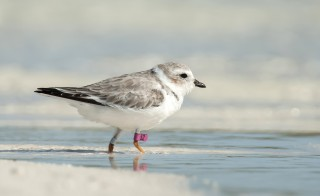 A piping plover on the Joulter Cays in the Bahamas soon after it was released by a team of scientists. The pink band on its leg will allow scientists, and citizen scientists, to track the bird from its nesting grounds in the U.S., to its wintering grounds in the Bahamas. Photo by Walker Golder/National Audubon Society