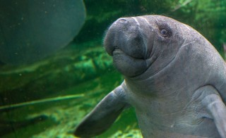 File photo of a baby manatee swimming at the Zoo Parc of Beauval, France. Photo by Guillaume Souvant/AFP/Getty Images