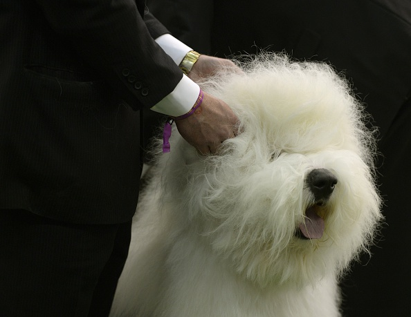 An Old English Sheepdog in the judging area at Pier 92 and 94 in New York City on the first day of competition at the 139th Annual Westminster Kennel Club Dog Show February 16, 2015. The Westminster Kennel Club Dog Show is a two-day, all-breed benched show that takes place at both Pier 92 & 94 and at Madison Square Garden in New York City.    AFP PHOTO /  TIMOTHY  A. CLARY        (Photo credit should read TIMOTHY A. CLARY/AFP/Getty Images)
