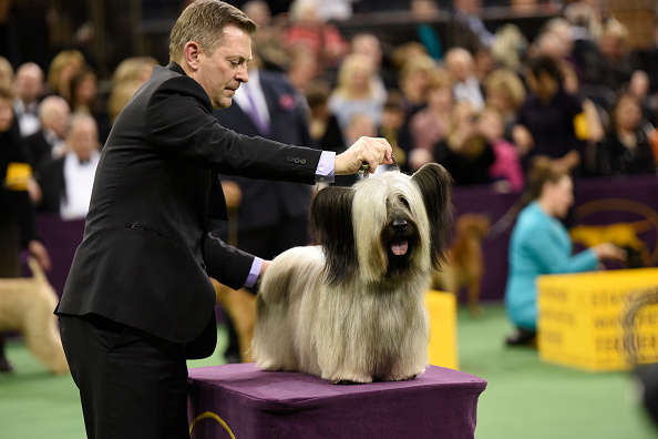 THE WESTMINSTER KENNEL CLUB DOG SHOW -- 'The 139th Annual Westminster Kennel Club Dog Show' at Madison Square Garden in New York City on Tuesday, February 17, 2014 -- Pictured: Skye Terrier -- (Photo by: Dave Kotinsky/USA Network/NBCU Photo Bank via Getty Images)