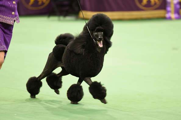 """THE WESTMINSTER KENNEL CLUB DOG SHOW -- """"The 139th Annual Westminster Kennel Club Dog Show"""" at Madison Square Garden in New York City on Tuesday, February 17, 2014 -- Pictured: Flame the Standard Poodle -- (Photo by: Dave Kotinsky/USA Network/NBCU Photo Bank)"""