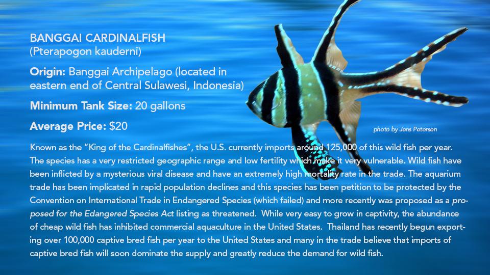 _Banggai Cardinalfish