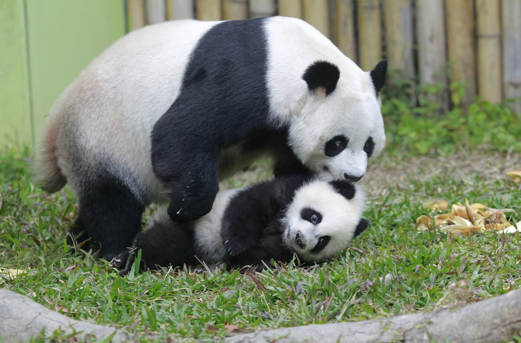 Mother giant panda Juxiao picks up one of her triplets with her mouth inside their enclosure at Chimelong Safari Park in China on Feb. 1, 2015. A recent survey by Chinese authorities found that wild giant panda populations in the country are on the rise. Photo by Alex Lee/REUTERS.