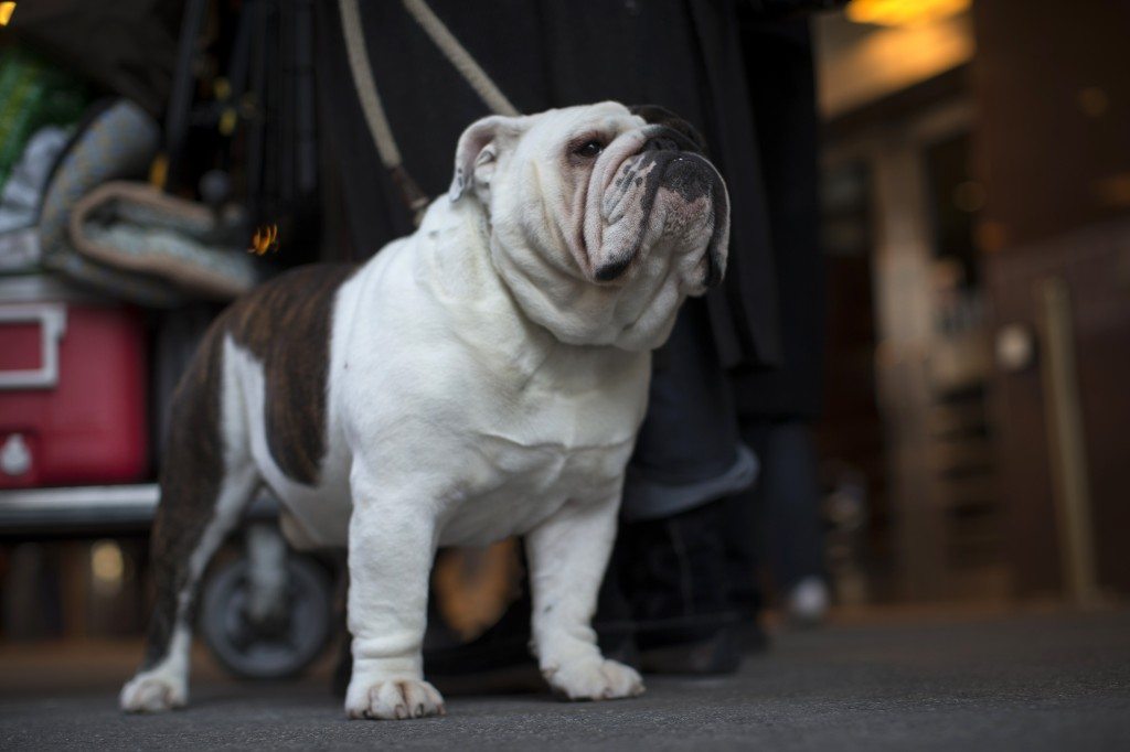 Milton, a Bulldog from Fitch Bay Quebec, Canada, stands with his owners as they check into the Pennsylvania Hotel in New York City ahead of the139th Westminster Kennel Club's Annual Dog Show in the Manhattan borough of New York February 15, 2015. REUTERS/Mike Segar (UNITED STATES - Tags: SOCIETY ANIMALS) - RTR4POXF