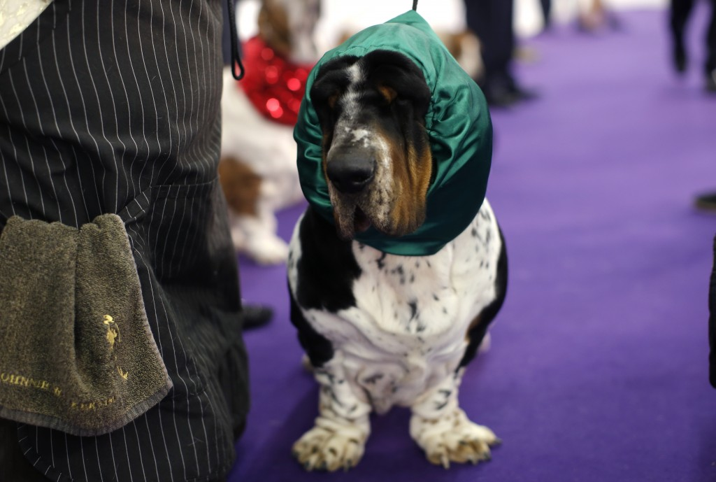 Ace, a Basset Hound from Lithuania, wears a hood as he waits with a handler before competition in the Hound Group at the 139th Westminster Kennel Club's Dog Show in the Manhattan borough of New York February 16, 2015.  REUTERS/Mike Segar (UNITED STATES - Tags: SOCIETY ANIMALS) - RTR4PU1A