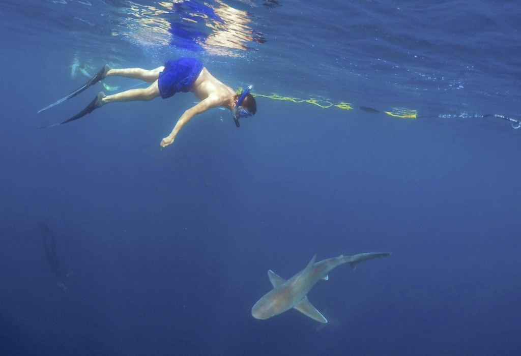 photo essay how to swim safely sharks newshour a tourist swims a sandbar shark on a cageless shark dive tour in haleiwa