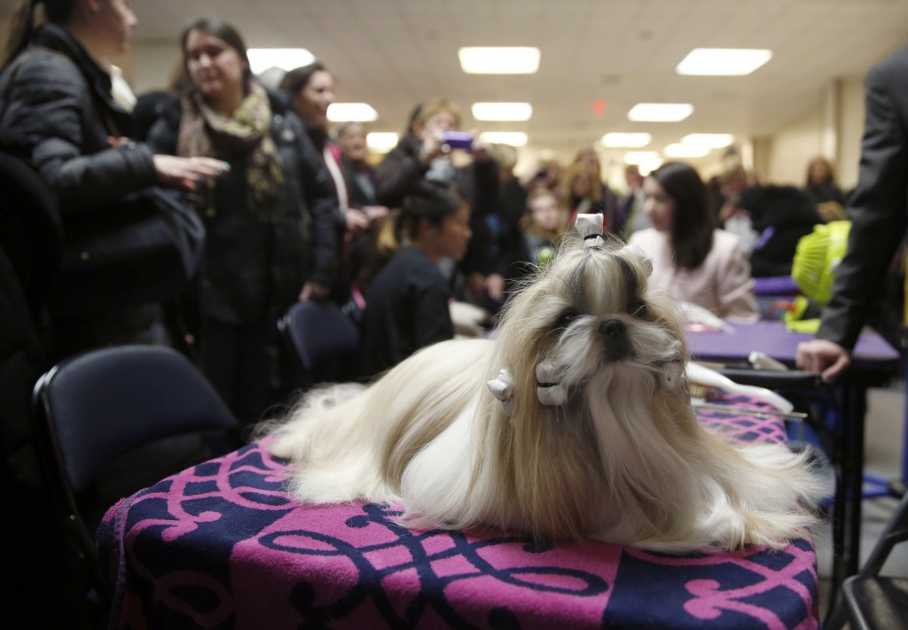 """Rocket, a Shih Tzu and winner of the Toy Group, sits before the """"best in show"""" judging at the 2015 Westminster Kennel Club Dog Show in New York February 17, 2015.  REUTERS/Shannon Stapleton (UNITED STATES - Tags: ANIMALS SOCIETY) - RTR4Q097"""
