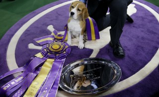 "Miss P, a 15-inch Beagle who won ""Best in Show"", stands near the winner's trophy at 139th Westminster Kennel Club Dog Show at Madison Square Garden on Feb. 17, 2015. Photo by Shannon Stapleton/Reuters"