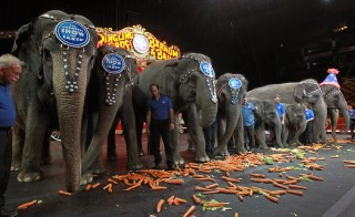 Elephants Feeding During Annual Ringling Brothers Circus