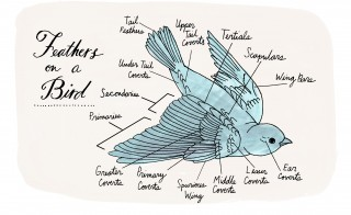 "Among the hundreds of illustrations in Julia Rothman's ""Nature Anatomy"" are diagrams detailing the different types of feathers on a bird. Excerpted from ""Nature Anatomy"" by Julia Rothman. Used with permission of Storey Publishing"