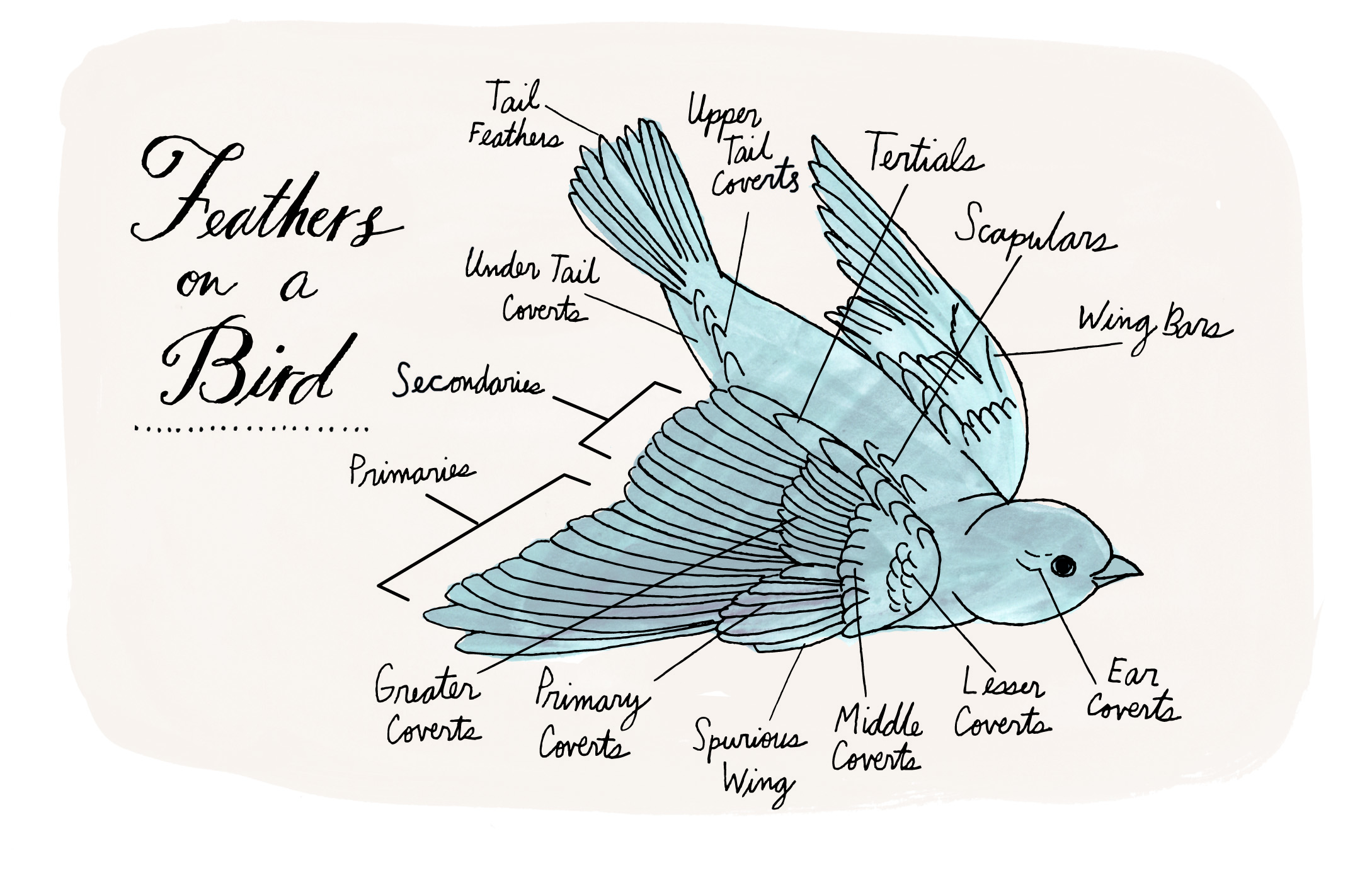 Fantastic Anatomy Of A Bird Feather Ideas - Physiology Of Human Body ...
