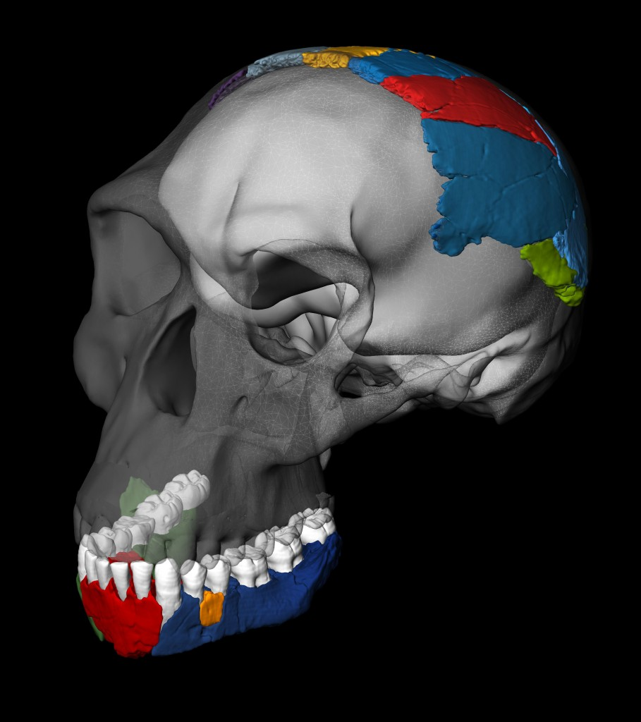 "Scientists took CT scans of the 1.8 million year old Homo habilis bones. It turns out our ""first human"" ancestor looks a lot more primitive than scientists thought. Image by Philipp Gunz, Simon Neubauer and Fred Spoor"