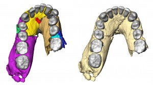 Image on the left shows the original Homo habilis jaw fossil, which was distorted and uneven. Scientists digitally reconstructed the fossil, seen on the right. Image courtesy Fred Spoor.