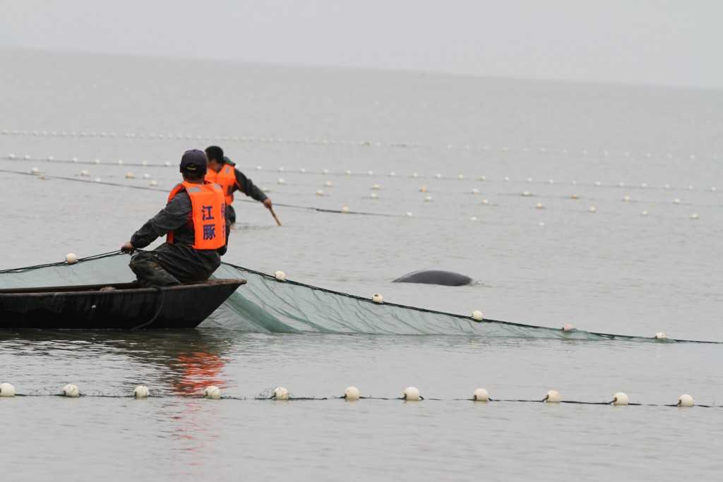 Capturing Yangtze finless porpoises in Poyang Lake before moving them to their new home. Photo by WWF