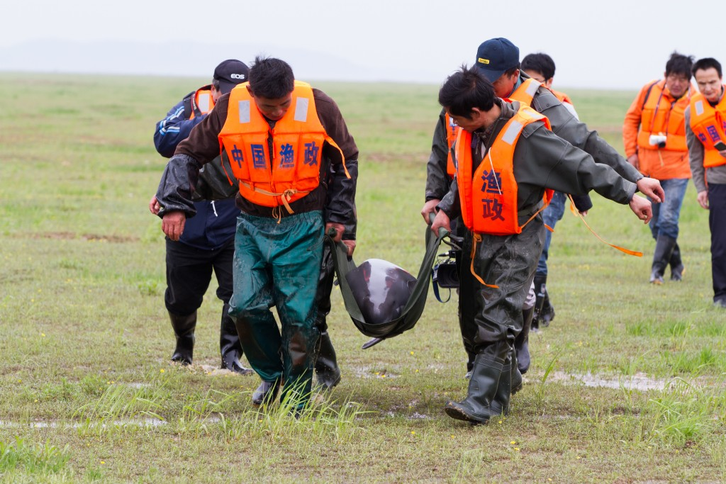 Yangtze finless porpoise being carefully carried before being tested and measured by scientists. Eight were chosen for translocation. Photo by WWF