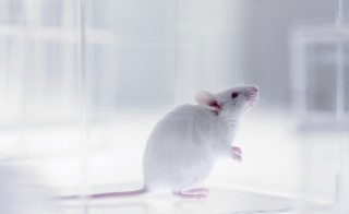Photo of mouse in laboratory by Adam Gault via Getty Images