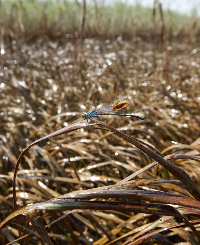 An Oily Marsh The dragonfly is perched in marsh grass covered in oil, May 18, 2010. (AP Photo/Gerald Herbert)