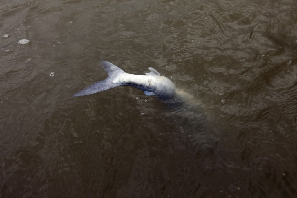 Catfish A dying catfish that had been picked at by birds floats on the surface of the water in the Breton Sound of the Gulf of Mexico, May 3, 2010. (AP Photo/Gerald Herbert)