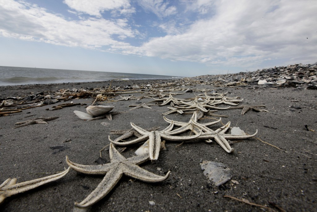 Starfish Dead starfish washed ashore on the Chandeleur Islands off the Southeastern coast of Louisiana, home of the Breton National Wildlife Refuge, Tuesday, April 27, 2010. (AP Photo/Gerald Herbert)