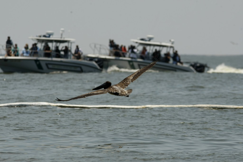 Pelican in View An oil-soaked pelican flies near an absorbent oil boom and boats carrying Louisiana Gov. Bobby Jindal and Plaquemines Parish President Billy Nungesser in Barataria Bay, off the Louisiana coast, May 23, 2010. (AP Photo/Gerald Herbert)