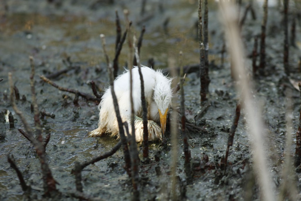 Dying Heron A young heron sits dying amidst oil splatters on an island in Barataria Bay, May 23, 2010. (AP Photo/Gerald Herbert)