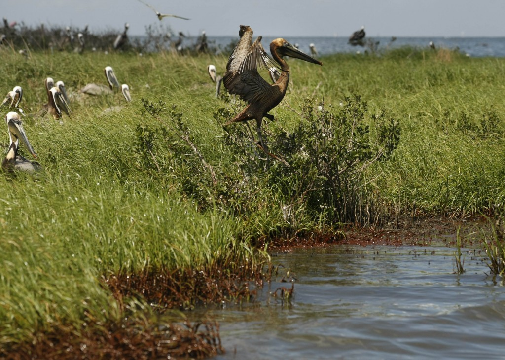Taking Flight An oil-stained pelican leaves its nest as oil washes ashore on an island in Barataria Bay, May 22, 2010. (AP Photo/Gerald Herbert)