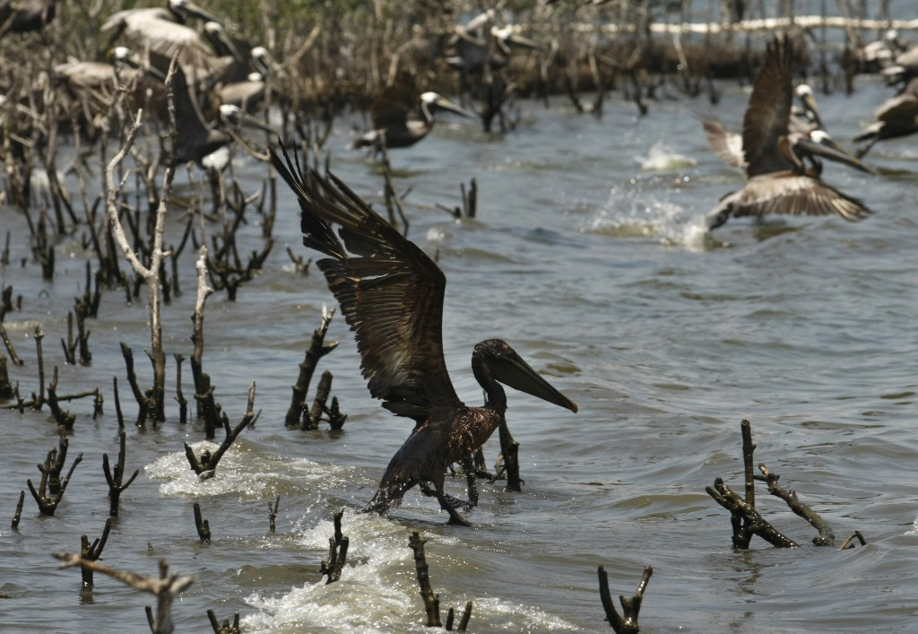 Trying to Escape An oil-soaked pelican takes flight after Louisiana Fish and Wildlife employees tried to corral him on an island in Barataria Bay, May 23, 2010. (AP Photo/Gerald Herbert)
