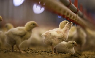 Nine-day-old chicks drink water at a Foster Farms ranch near Turlock, California June 16, 2014. A new study indicated a global trend of antimicrobial overuse in livestock production. Photo by Max Whittaker/Reuters.