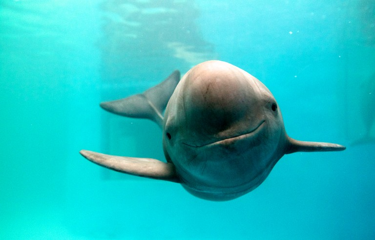 Yangtze finless porpoise in a research center in China. Photo by WWF