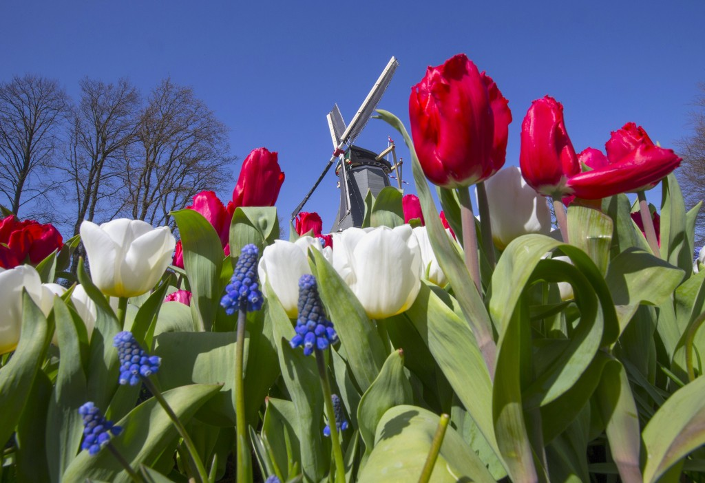 Tulips bloom alongside a windmill in the Garden of Europe in Lisse, the Netherlands. Photo: REUTERS/Yves Herman