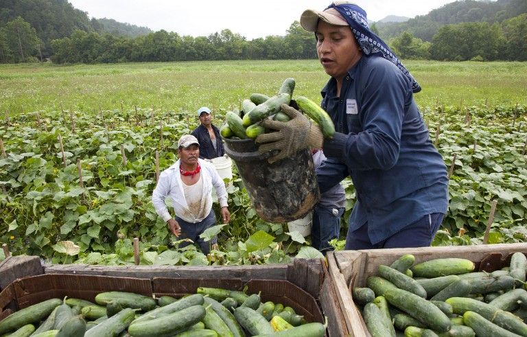 Migrant workers harvest cucumbers on a farm in Virginia. A new report from the World Bank today estimates that there are more than 247 million migrants worldwide who sent $436 billion to the developing world in 2014. Photo by Elizabeth Pohl/Bread for the World/Flickr