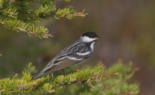 A breeding male blackpoll warbler. Photo by Robert Royse