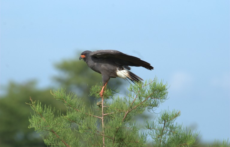 A Snail Kite, one of Florida?s iconic breeding bird species, perches on a branch at J. W. Corbett Wildlife Management Area near West Palm Beach, Florida in this July 12, 2008 handout photo. Florida water managers are worried about the growing population of the South American apple snail, which has become a food source for the endangered Snail Kite, but is also threatening Everglades clean up efforts.  REUTERS/Mike Baranski/FWC/Handout via Reuters (UNITED STATES - Tags: ANIMALS SCIENCE TECHNOLOGY) THIS IMAGE HAS BEEN SUPPLIED BY A THIRD PARTY. IT IS DISTRIBUTED, EXACTLY AS RECEIVED BY REUTERS, AS A SERVICE TO CLIENTS. FOR EDITORIAL USE ONLY. NOT FOR SALE FOR MARKETING OR ADVERTISING CAMPAIGNS - RTR488TZ