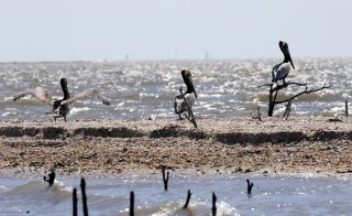 Pelicans are seen along the coast of Cat Island in Barataria Bay in Plaquemines Parish, Louisiana