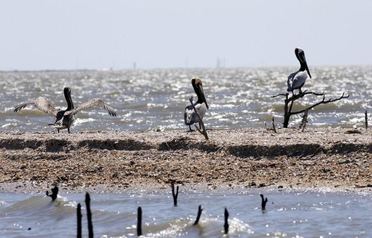 Pelicans are seen along the coast of Cat Island in Barataria Bay in Plaquemines Parish, Louisiana