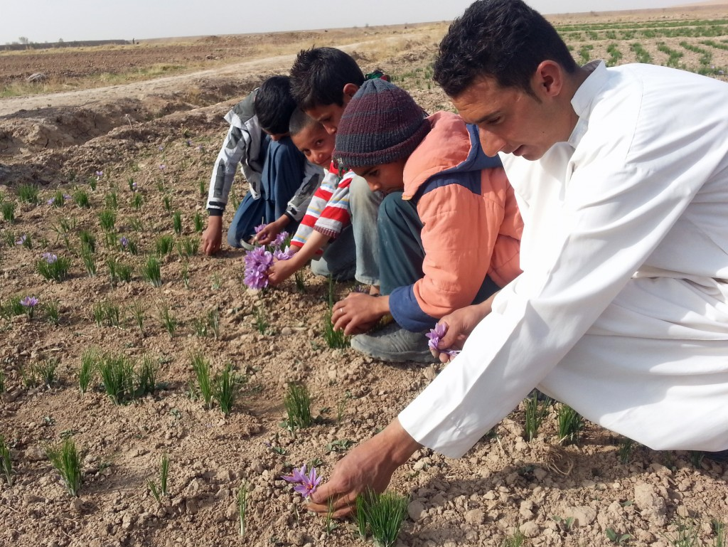 Afghans pluck blossoms from the saffron plants. Photo courtesy of Rumi Spice