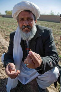 An Afghan farmer holds up the stigma from a saffron plant that will become the spice for cooking. Photo courtesy of Rumi Spice