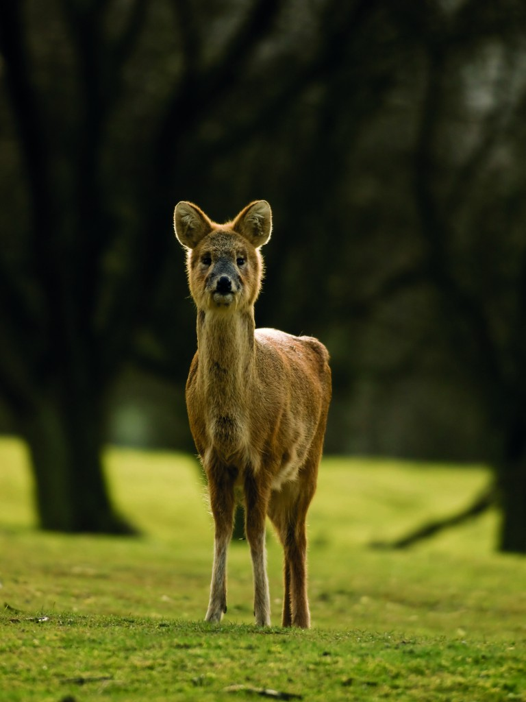 Chinese water deer at Whipsnade Zoo, Dunstable, copyright William Warby, Wikimedia Commons