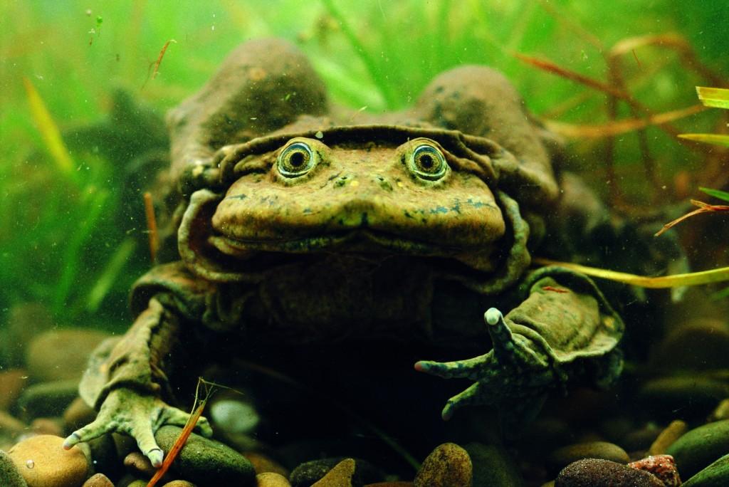 Titicaca water frog, copyright Pete Oxford/naturepl.com