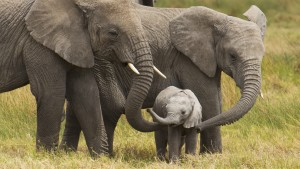 African elephants walk with their young on the Serengeti. Image by Cathy Hart/ Design Pics Perspectives and Getty Imates