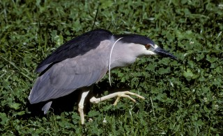 Migrant bird or summer freeloader? Wild black-crowned night-heron have invaded  the Smithsonian National Zoo for over 100 years -- and scientists are just beginning to unravel where they are the rest of the year. Courtesy of Smithsonian's National Zoo