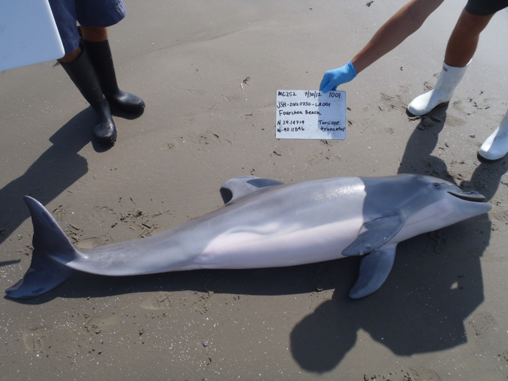 A new NOAA study provides a final link between the 2010 Deepwater Horizon accident and a flourish of dolphins deaths along the Gulf coast. This is one of the stranded dead dolphins that came ashore in 2012 along the Louisiana coast being photographed for study. Photo by Louisiana Department of Wildlife and Fisheries